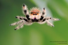 A Jumping Spider in action.  Macro photography by Scott Linstead.
