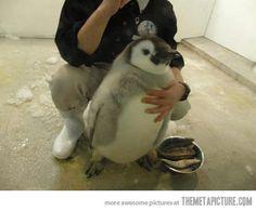 Chubby baby penguin