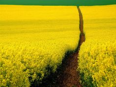 yellow, rape fields, you see these all over Uk...