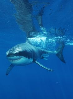 Mysterious Lifestyles Of Female Great White Sharks Revealed