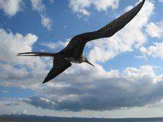 Frigate birds - gotta love'm...