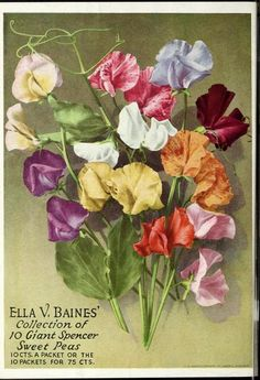 Ella V. Baines' Collection of 10 Giant Spencer Sweet Peas. 10cts a packet or the 10 packets for 75cts.