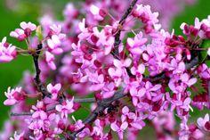 eastern redbuds   Glorious Redbuds   Powell Gardens Blog