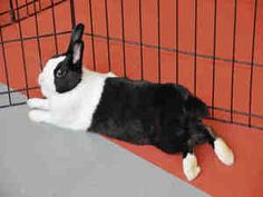 STELLA is an adoptable Dutch Rabbit in Pittsburgh, PA. ADOPT STELLA!! Stella is a Beautiful, White and Black Bunny! She is outgoing, sweet and calm. She loves to be petted, while being held close to y...