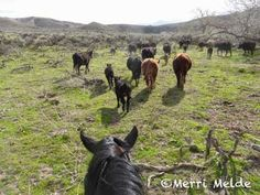 The Equestrian Vagabond: Today, The Cows Won - http://theequestrianvagabond.blogspot.com/2014/04/today-cows-won.html