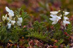 Valkoisia sinikukkia, albiflora | POLKU.net