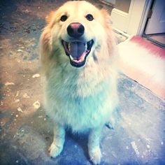 #Nanuk had a great walk!  #hotdiggity #hotdiggityPDX #dogsofportland #dogsofPDX #portlanddogs #pdxdogs #dogscorner #dogwalker #dogwalkersPDX #portlanddogwalker #dogsofinstagram #petsofinstagram #dogstagram #petstagram #cutedog #aplacetolovedogs