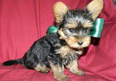James – Yorkshire Terrier | Cuccioli di kaya e Lilifee
