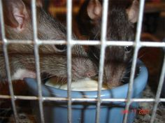 Rat Munchies: Healthy Treats for Pet Rats @jenni ann