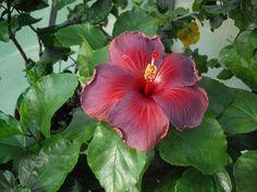Hibiscus de Albo Lacinatus à Eye of the Storm