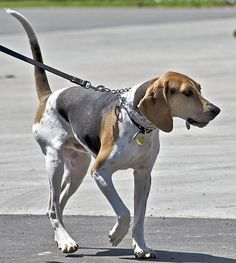 Treeing Walker Coonhound  Breed information for this lesser-known pup.