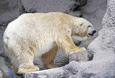 Mendoza Zoo in Western Argentina -   Despite a petition by more than a 1/2 million asking the bear be moved to Canada, Argentina's last captive polar bear will remain in the country.  The zoo director told the Press on Tues that the 28-year-old bear is too old to safely be relocated.  Animal rights advocates say the bear, Arturo, paces nervously in his concrete enclosure, suggesting he suffers from depression. They have campaigned to move the bear to a zoo in Winnipeg, Manitoba.