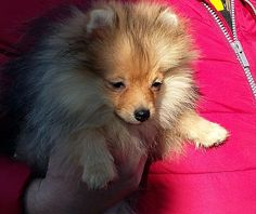 Liliputpoms pomeranian puppy
