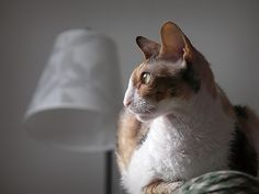 "Difference between Cornish and Devon Rex cats: Cornish Rex, this photo: Lacks guard hair. Small egg-shaped head. Large high set ears. The forehead and muzzle form a ""Roman nose"". Long, lean body with an arched back.   Devon Rex: Has all three hair types (guard, awn, down). The head is a round wedge that looks wider than long. The ears are set well apart with the outer line extending beyond the lines of the head. There is a definite stop between the forehead and muzzle. Shorter and heavier…"