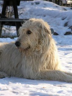 Irish Wolfhound photo | Irish Wolfhound dog in the snow photo and wallpaper. Beautiful Irish ...