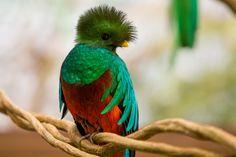 dari www.anakcemerlang.com gambar burung Quetzal nama hewan dari huruf Q
