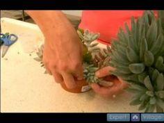 Succulent - Garden - How To Grow Cactus And Succulent Plants : How to Cut Succulent Plants for Propagation