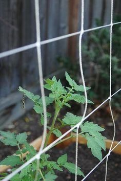DIY tomato trellis - PVC and twine Tomato Trellis, Cucumber Trellis, Diy Trellis, Diy Herb Garden, Twine, Herbs, Plants, Indoor, Modern