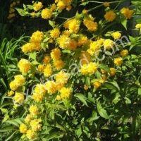 "Керия японская ""Пленифлора"" (Kerria japonica ""Pleniflora"")"