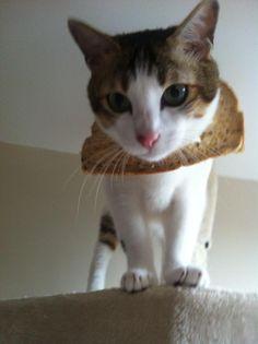 Breaded Cats   Cat Breading   Breading Cats