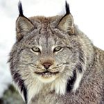 This holiday, you can contribute to the protection of Canada lynx habitat, simply by giving the gift of nature! Amphibians, Mammals, Reptiles, Canada Lynx, Canadian Nature, Sierra Club, Most Beautiful Animals, Cute Cats And Dogs, Snow Leopard