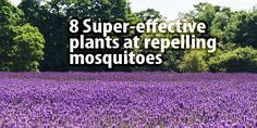 Keep Mosquitoes away from your home and garden with these 8 easy-to-grow plants. The best natural mosquito repellent may just be the one growing in your garden!