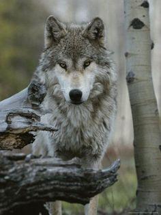 Wolf framed by a log...