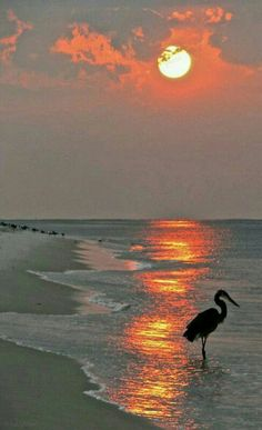 Dinnertime on the beach in Boca a heron at sunset - fabulous photo Beautiful Sunset, Beautiful Beaches, Beautiful World, Beautiful Birds, Cool Photos, Beautiful Pictures, Pictures Of The Beach, Beach Photos, Beach Scenes
