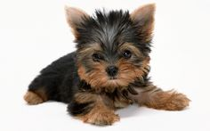 #VetsSherbourne The Yorkshire Terrier has glamorous coat, small size, spunky personality, and undying loyalty to his people.