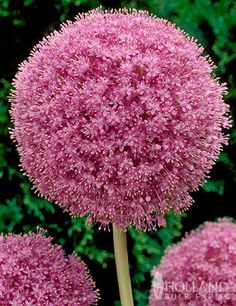 Exclusive Pink Giant Allium sourced from a small family farm in the state of Washington.Add these pink giant allium to your purple and white allium plantings for a trio of color! Giant Allium (Allium giganteum) are the tallest of the large flowering. Allium Flowers, Flower Pots, Planting Flowers, Allium Christophii, Pink Flowers, Beautiful Flowers, Pink Perennials, Flower Pot Design, Decoration Plante