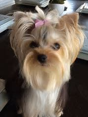 Image result for Yorkie Mohawk Haircut Styles