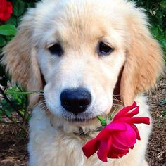 What a sweetheart #GoldenRetriever