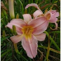 """daylilies: BRUSHED WATERCOLOR (VT) 22"""" Tall. Blooms in Late Aug"""