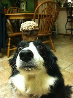 Congrats, Zelda! You earned that cupcake. | Meet Zelda, The Most Patient Border Collie In TheWorld