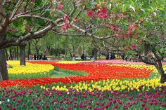 Tulips by itchydogimages, via Flickr~ Bejing Botanical Gardens, Bejing, China