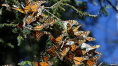 North America's fauna and flora: Butterfly effect | The Economist