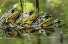 Frogs are very funny and laugh their images worldwide. All pictures of animals are funny, of course. Enjoy the pictures and have a good laugh.