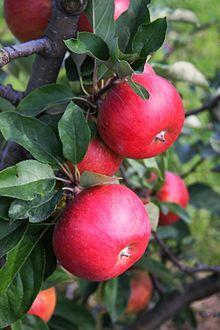 Rubinola apple.jpg