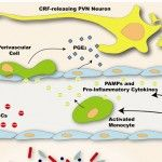 Immune Modulation of the Hypothalamic-Pituitary-Adrenal (HPA) Axis during Viral Infection