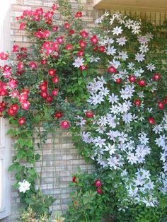 Enredadera de flores rojas y otra variedad de enredadera con flor blanca