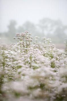 Valerian | Gaia Herbs Farm | Brevard NC