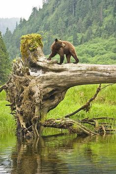 Grizzly by Tim