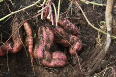 How to grow your own kumara shoots