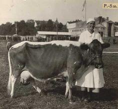 """Nro 132 28/8 -34. """"Ralli"""", palkittu lehmä. Omist. velj. Sonninen, Lapinlahti. Homeland, Finland, Cow, Horses, Animals, Image, Animales, Animaux, Cattle"""