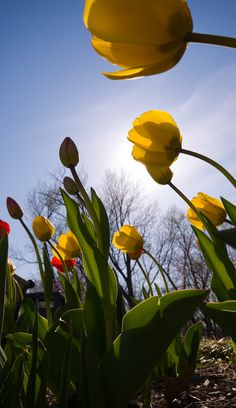 From the Ground #flowers #tulips
