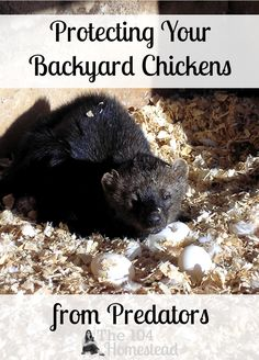 Depending on where you live, any number of these predators may pose a problem for your flock. However, there are a number of ways to protect your chickens from the creatures.