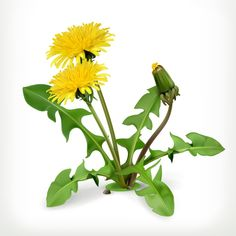 Are dandelion greens a weed ruining your lawn or a delicious gourmet food? Discussion of dandelion greens with recipes. Flowers Nature, Spring Flowers, Wild Flowers, Beautiful Flowers, Fruit Sketch, Flora, British Garden, Dandelion Flower, Color Vector
