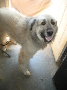 "LITTLE ROCK ARKANSAS: ""Jewel"" Anatolian Shepherd Mix & Great Pyrenees • Adult • Female  National Anatolian Shepherd Rescue Network Little Rock, AR was rescued from a kill shelter when she was just a baby and was adopted by a family in Little Rock. Unfortunately, her owner died unexpectedly and the wife is overwhelmed and not able to keep her or their male dog,..."