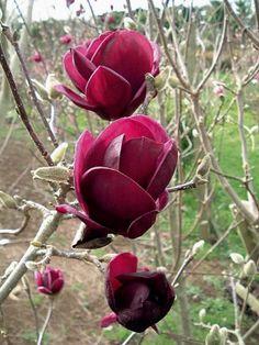Le magnolia 'tulipe noire' | Au jardin de Willemse