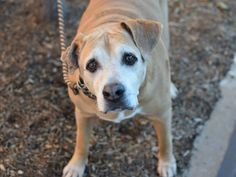 TO BE DESTROYED - 01/07/15 Manhattan Center -P ~~SENIOR ALERT!!~~  My name is CEZA. My Animal ID # is A1023803. I am a neutered male tan and white pit bull mix. The shelter thinks I am about 9 YEARS old.  I came in the shelter as a OWNER SUR on 12/21/2014 from NY 11415, owner surrender reason stated was PETS CONFL.